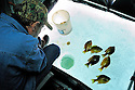 00650-019.16 Ice Fishing: Angler is portable shelter is sight fishing for sunfish.  Six fish on ice.