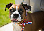 Merrick, New York, USA. 27th May 2013. Harley Manson, a boxer dog, is wearing a patriotic red, white and blue ribbon collar to watch the Annual Memorial Day Parade 2013, hosted by American Legion Merrick Post No. 1282, anwith ceremony at Merrick Veteran Memorial Park.