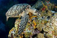 Hawksbill Turtle, Eretmochelys imbriocota feeding on sponges at Colombia Deep in Cozumel, Mexico, Caribbean Sea, Atlantic Ocean