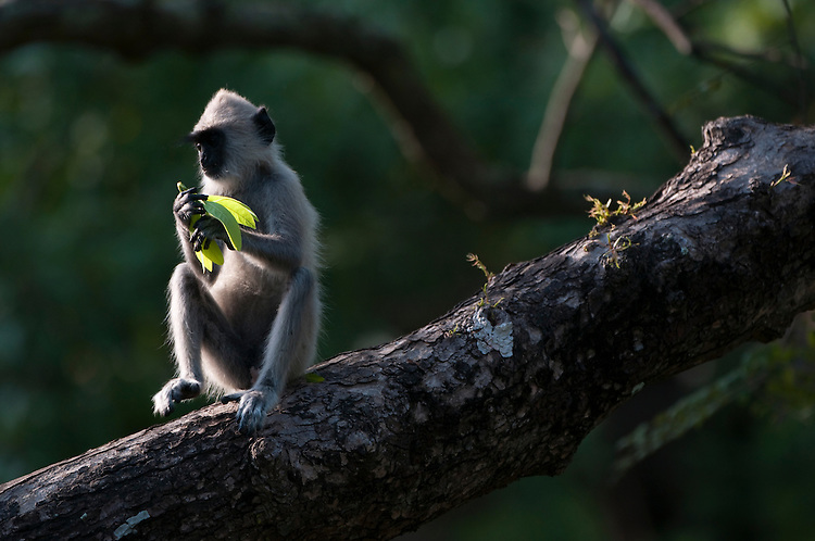Grey or Hanuman langur feeding in tree. Archaeological reserve, Polonnaruwa, Sri Lanka