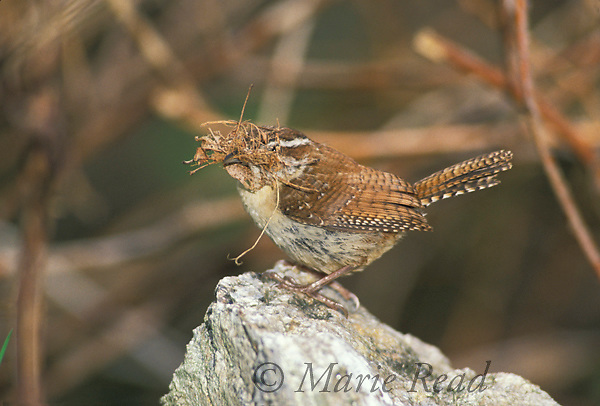 Carolina Wren (Thryothorus ludovicianus) adult with a bill full of nest material, Maine, USA.<br />