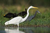 Great Egret ( Ardea alba),adult among other waders, Fennessey Ranch, Refugio, Coastal Bend,Texas Coast, USA