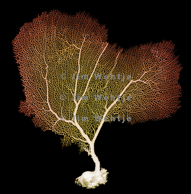 X-ray image of a purple sea fan (blended color on black) by Jim Wehtje, specialist in x-ray art and design images.