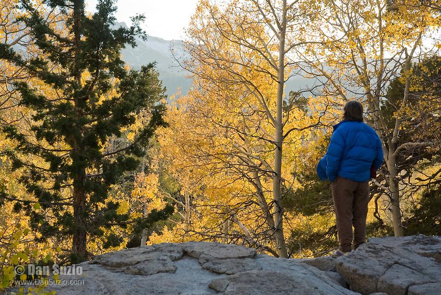 Hiker in grove of quaking aspen, Populus tremuloides, near Carson Pass, Sierra Nevada Mountains, California