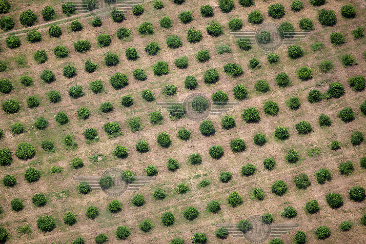 Fruit trees seen from the air.