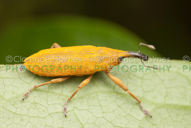 Rhubarb Weevil (Lixus concavus), Ward Pound Ridge Reservation, Cross River, Westchester County, New York