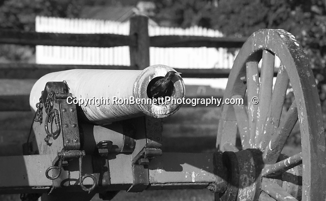 Bird in barrel of civil war Cannon, Bird in cannon barrel, Bennett,  Black and White Photographs, Black & White Photo's, B&W Photographs,  B&W, Black and White, Fine Art Photography, photography, photo, creative, creative vision, vision, artist, photographs fulfill a creative vision of artist, artist, Black and White Pictures, Fine Art Photography by Ron Bennett, Fine Art, Fine Art photography, Art Photography, Copyright RonBennettPhotography.com ©