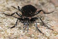 Körniger Laufkäfer, Gekörnter Laufkäfer, Gemeiner Feldlaufkäfer, Männchen, Porträt, Portrait, Carabus granulatus, field ground beetle