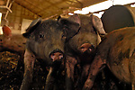 Heritage Pigs - Tamworth Breed ,Russ Kremer,Pope of Pork,