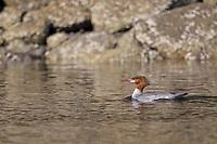 A female common merganser duck swims in HIdden bay, Culross Island, Prince William Sound.