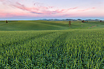 The Palouse, Whitman County, WA: Rolling hills and patterns of wheat fields at dusk