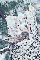 Great gray owl (Strix nebulosa) on nest during spring snowstorm.  Northern Rockies.