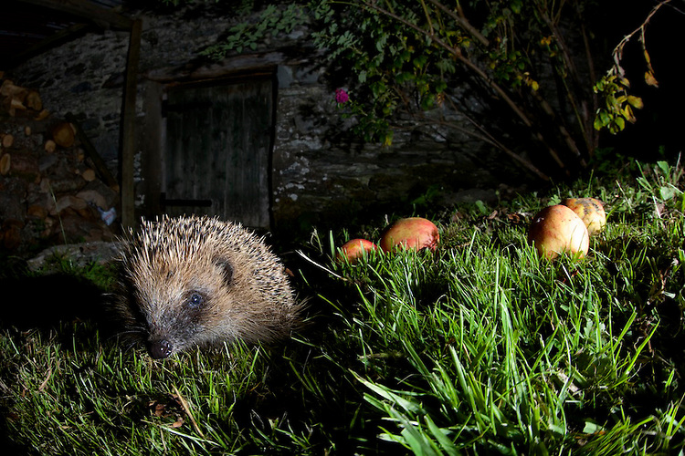 European Hedgehog exploring a garden, near Corwen,north Wales.
