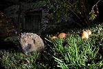 European Hedgehog exploring a garden, near Corwen,north Wales.