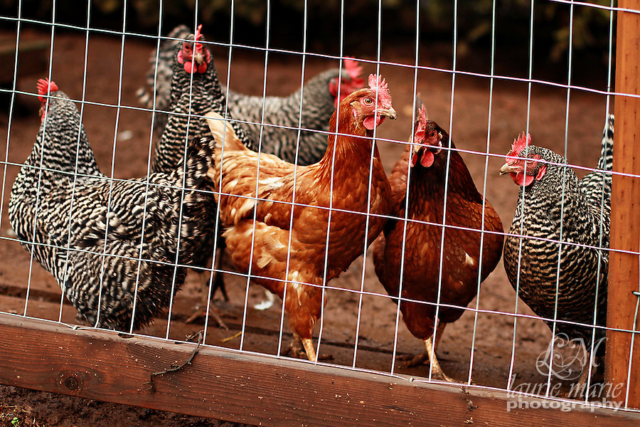 This brood of hens kept a close watch on me waiting to see if I'd toss them any chicken feed.