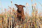 A Chesapeake Bay retriever leaps through cattails.