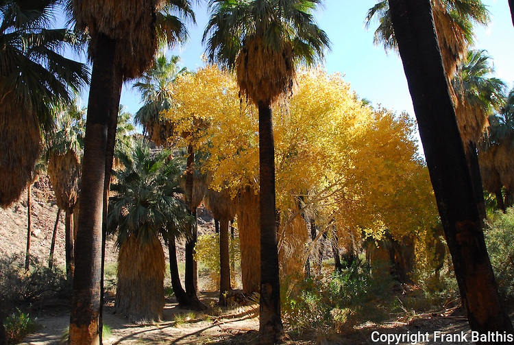 Cottonwoods and palm trees in Indian Canyons in Palm Springs