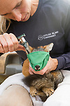 Santa Catalina Island Fox (Urocyon littoralis catalinae) biologist, Julie King, checking for ear mites during vaccination and health check up, Santa Catalina Island, Channel Islands, California