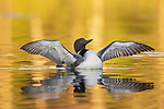 Common Loon - wing stretch