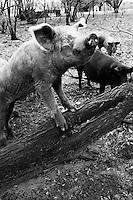 HEMINGWAY, SC - MARCH 31: SCOTT'S BBQ. Pet pigs on Roosevelt Scott's property in Hemingway, SC. (Photo by Landon Nordeman)