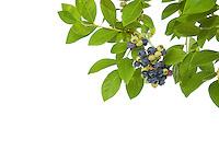 Ripe blueberries, on the vine