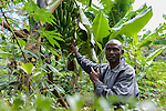 KENYA, Kaimosi, NGO RSP Rural Service Programme promote farming of traditional crops and crop diversity for healthy nutrition amongst small scale farmers, farmer field school, tradititional cooking banana variety / KENIA, Kisumu County, Kaimosi, NGO RSP Rural Service Programme, Unterstuetzung von Kleinbauern beim biologischen Anbau von traditionellen Sorten, Sortenvielfalt und Verbesserung einer gesunden Ernaehrung, landwirtschaftliche Schulung durch RSP Mitarbeiter, lokale Kochbananensorte