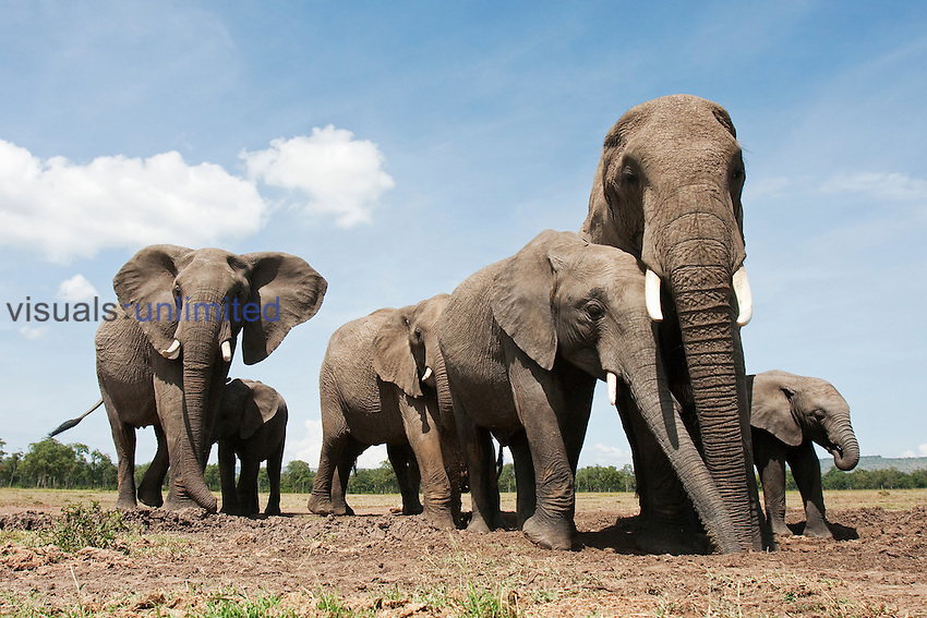 African Elephant herd at waterhole (Loxodonta africana), Masai Mara, Kenya.