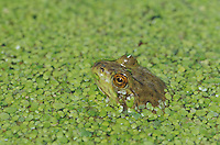 American bullfrog, Rana catesbeiana, in duckweed, Lemna sp. Bullfrogs are native to the eastern United States, but have become established throughout the west. Captive frog photographed in studio.