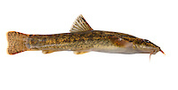Stone Loach Barbatula barbatula Length 5-10cm<br /> This is an elongate, slim-bodied fish with well developed barbels around the mouth; it is widespread but often overlooked in gravel-bottomed, unpolluted streams and rivers.