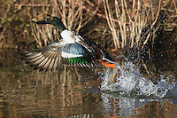 Northern Shoveler (Anas clypeata), male taking off, Bosque del Apache National Wildlife Refuge , New Mexico, USA,