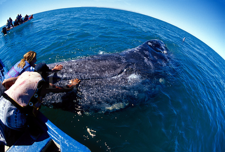 Mother gray whales, Eschrichtius robustus, bring their calves over to boats to be touched by people. San Ignacio Lagoon, Mexico.