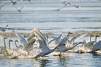Tundra swans or whistling swans (Cygnus columbianus) taking flight, Winter.