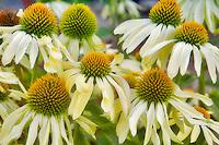 Cone Flower. Echinacea 'Sunrise'. Hughes Water Gardens. Oregon