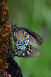 Mating spicebush swallowtail butterflies