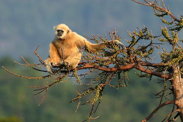 White-handed Gibbon (Hylobates lar), adult, Thailand