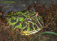 "1216-07tt  Ornate Horned Frog - Ceratophrys ornata ""Brazil"" - © David Kuhn/Dwight Kuhn Photography."