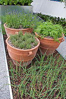Herbs in clay pots, include thyme Thymus and Lavandula lavender, onions or shallots growing