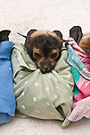Fruitbat (Pteropus conspicsllatus) babies in Tolga Fruitbat hospital swaddled up in a cloth ready to sleep.