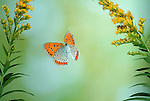 Large Copper Butterfly, Lycaena dispar, in flight, flying was extinct in UK, special breeding group for release, high speed photographic technique.United Kingdom....
