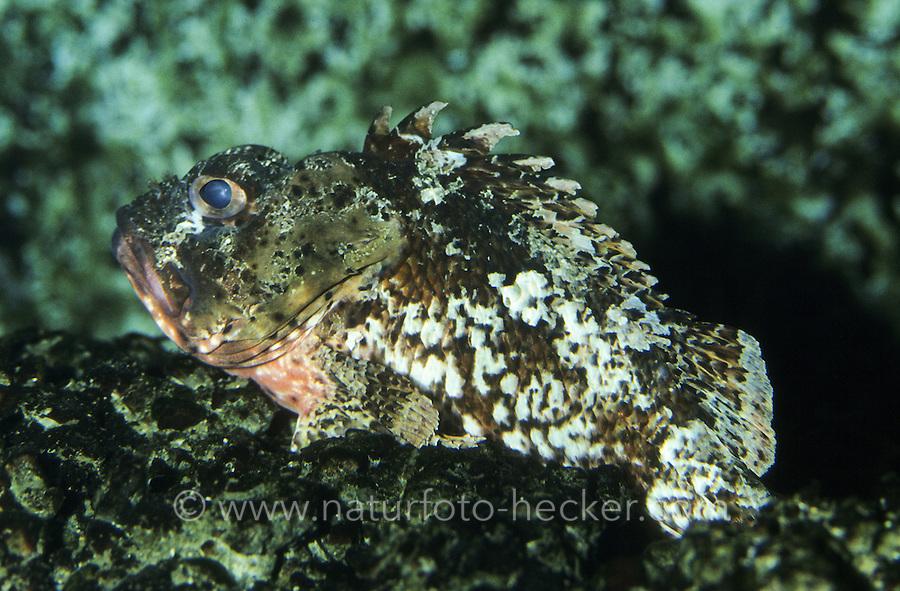 Kleiner Drachenkopf, Kleiner Roter Drachenkopf, Scorpaena ustulata, Scorpaena notata, Small scorpionfish, Small red scorpionfish, Small Red Rockfish, Skorpionfische, Scorpaenidae