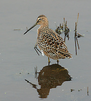 Adult long-billed dowitcher in breeding plumage