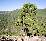 Pine forest Sierra Bermeja viewed from the road to Ronda, Spain