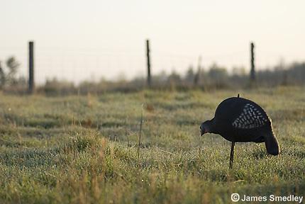 Wild turkey decoy in a field