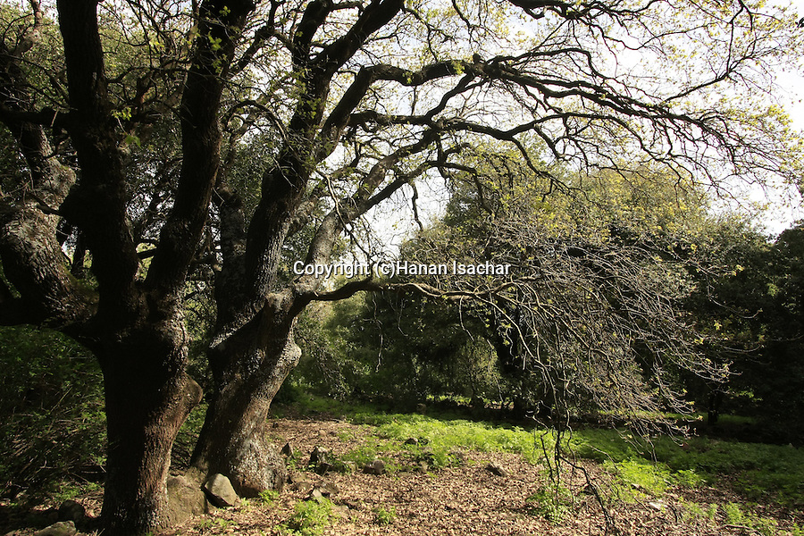 The Golan Heights. Boissier Oak (Quercus boissieri) at the Circassian cemetery near Marom Golan