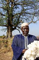 BURKINA FASO , Obiré, Gan kingdom, men harvest cotton by hand at farm of 29th. Gan king SA MAJESTÉ ROI GAN, behind cotton tree Kapok / Maenner ernten Baumwolle per Hand auf der Farm des Gan Koenig SA MAJESTÉ ROI GAN, im Hintergrund Kapok Baum