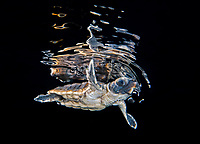 loggerhead sea turtle, Caretta caretta, hatchling, swimming by on the surface during a black water drift dive with the bottom more than 500 feet below, Palm Beach, Florida, USA, Atlantic Ocean