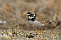 Adult Semipalmated Plover (Charadrius semipalmatus) in breeding plumage. Seward Peninsula, Alaska. June.