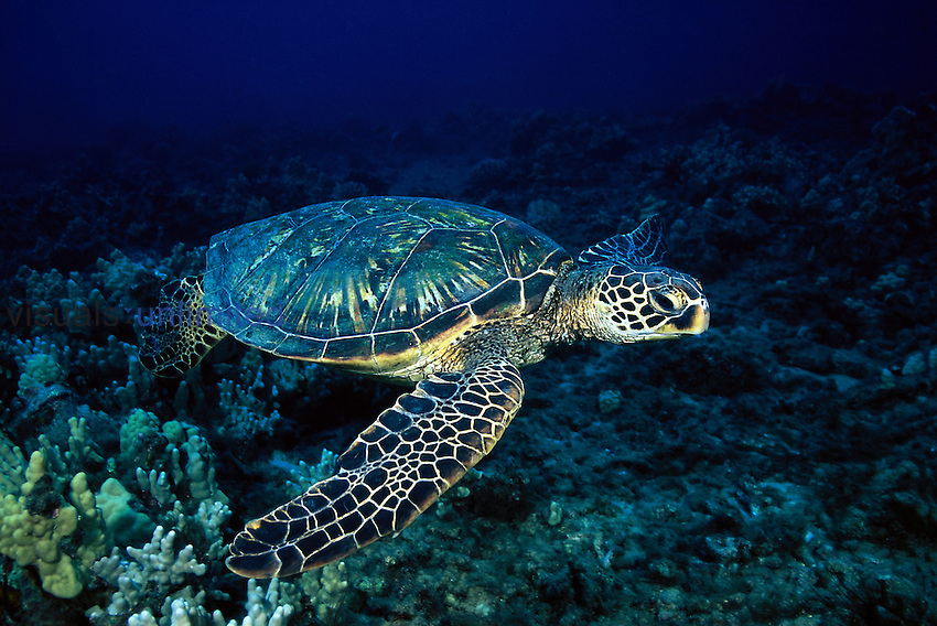 A female green sea turtle, Chelonia mydas, gliding over a Hawaiian reef. Hawaii.