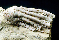 CRINOID: PLANT-ANIMAL<br /> State fossil of Missouri<br />  This specimen comes from Mississippi keokuk limestone.