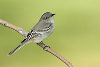 Gray Flycatcher - Empidonax wrightii